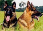 Vom Glockner Haus Kennels and Training